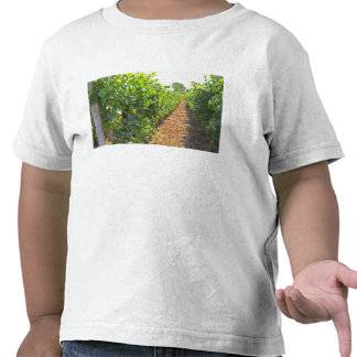 Vines trained high on wires supported by tee shirt