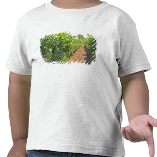 Vines trained high on wires supported by t shirts