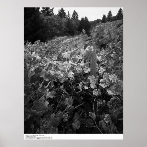Vineyard and Hills, Draper Vineyard, 1966 Poster