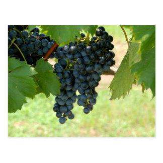 Vineyard Grapes Postcard