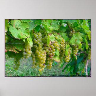 Vineyard Grapes Poster