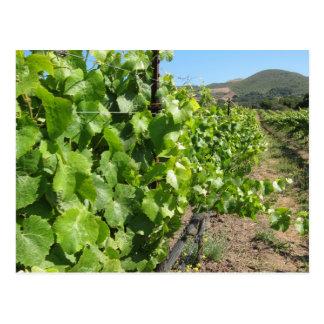 Vineyard in Buellton California Postcard