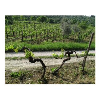 Vineyard in Chianti Region of Italy Postcard