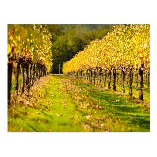 Vineyard in Fall Autumn Postcard