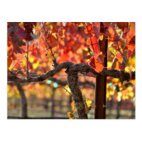 Vineyard in Fall Autumn Postcard