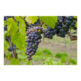 Vineyard in Oregon Poster