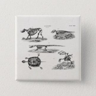 Vintage 1800s Animal Skeletons Antique Anatomy Pinback Button
