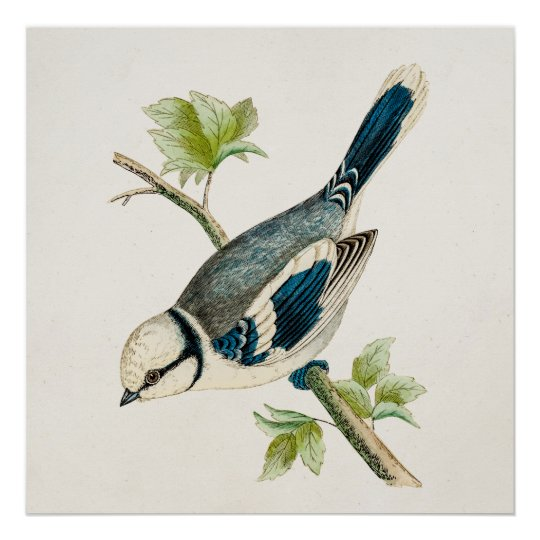 Vintage 1800s Blue Bird Songbird Birds Drawing Poster