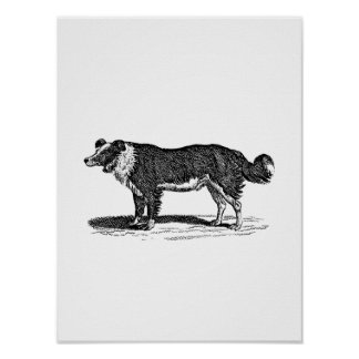 Vintage 1800s Border Collie Dog Illustration Poster