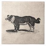 Vintage 1800s Border Collie Dog Illustration Ceramic Tile