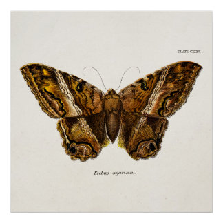 Vintage 1800s Brown Fuzzy Moth Template Butterfly Print