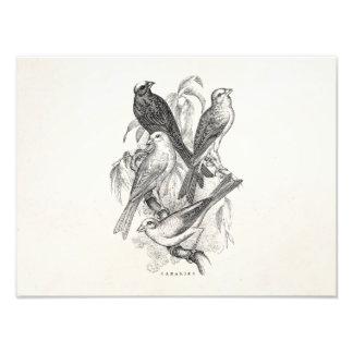 Vintage 1800s Canary Bird Canaries Birds Template Art Photo