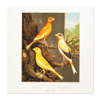 Vintage 1800s Canary Song Bird Template Canaries Canvas Print