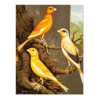 Vintage 1800s Canary Song Bird Template Canaries Photo Art