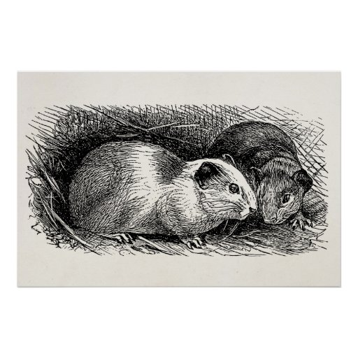 Vintage 1800s Guinea Pig Illustration Retro Cavies Posters