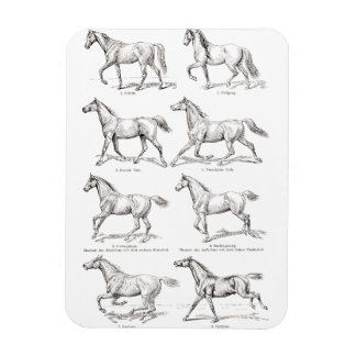 Vintage 1800s Horse Gaits Illustration Horses Vinyl Magnets