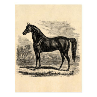 Vintage 1800s Horse - Morgan Equestrian Template Postcard