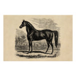 Vintage 1800s Horse - Morgan Equestrian Template Poster