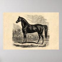 Vintage 1800s Horse - Morgan Equestrian Template Poster