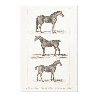 Vintage 1800s Horse Old Breeds Arabian Hunter Race Gallery Wrapped Canvas