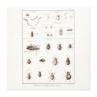 Vintage 1800s Insects Bug Beetles Illustration Canvas Print