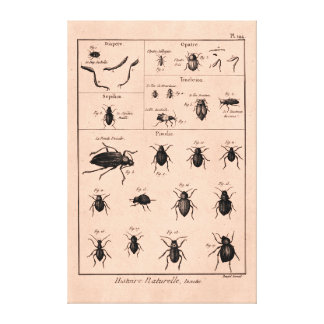 Vintage 1800s Insects Bugs Beetles Illustration Canvas Print