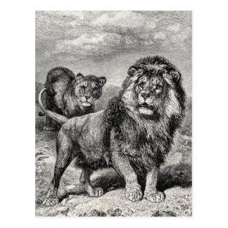 Vintage 1800s Lion Lionesse Big Cat Illustration Postcard
