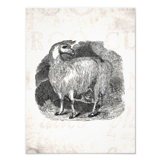 Vintage 1800s Llama Retro Alpaca Llamas Template Photo Print