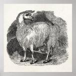 Vintage 1800s Llama Retro Alpaca Llamas Template Print