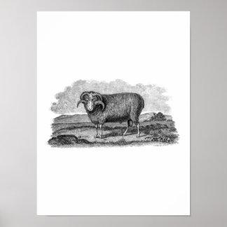 Vintage 1800s Merino Sheep Ram Lamb Template Poster