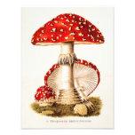 Vintage 1800s Mushroom Red Mushrooms Template Photo Print