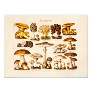 Vintage 1800s Mushroom Variety  Mushrooms Template Photo Print