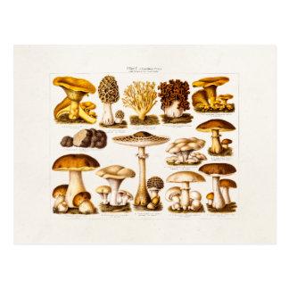 Vintage 1800s Mushroom Variety  Mushrooms Template Postcard