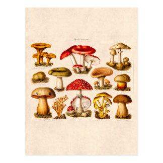Vintage 1800s Mushroom Variety Red Mushrooms Postcard