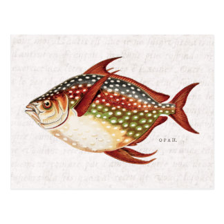 Vintage 1800s Opah Tropical Sporting Fish Drawing Postcard
