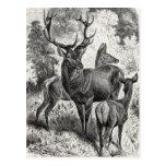Vintage 1800s Red Deer Illustration Stag Doe Fawn Postcard