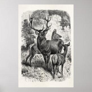 Vintage 1800s Red Deer Illustration Stag Doe Fawn Poster