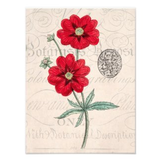 Vintage 1800s Red Flower Botany Cinquefoil Photo Print