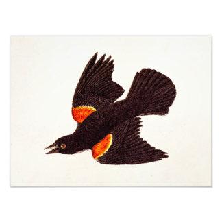 Vintage 1800s Red Winged Black Bird Illustration Photo Print