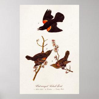 Vintage 1800s Red Winged Black Birds Illustration Poster