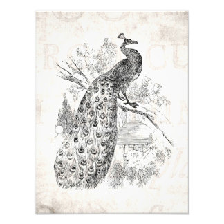 Vintage 1800s Retro Peacock Illustration Template Photo Print