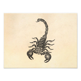 Vintage 1800s Scorpion Illustration - Scorpions Photograph