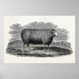 Vintage 1800s Sheep Ewe Illustration Retro Wool Poster