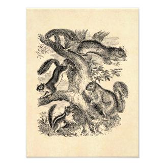 Vintage 1800s Squirrels Illustration - Squirrel Photo