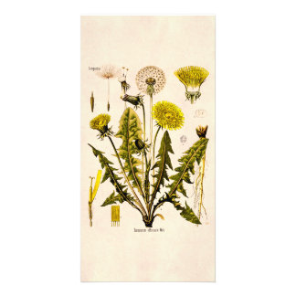 Vintage 1800s Yellow Dandelion Gone to Seed Floral Card