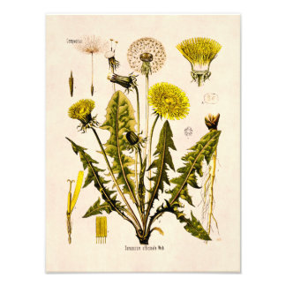 Vintage 1800s Yellow Dandelion Gone to Seed Floral Art Photo