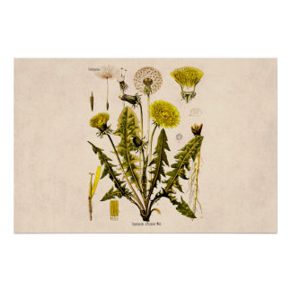 Vintage 1800s Yellow Dandelion Gone to Seed Floral Poster