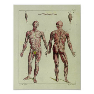 Vintage 1820 Muscle Anatomy Art Print
