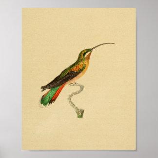 Vintage 1830 Hummingbird Print