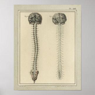 Vintage 1831 Brain Spinal Cord Anatomy Print